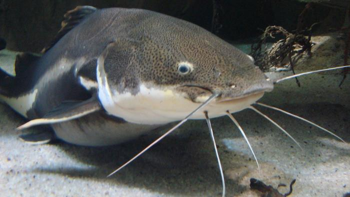 Excessive consumption of catfish can cause cardiovascular diseases — Expert